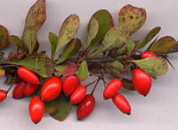 File:Berberis thunb frt.jpg
